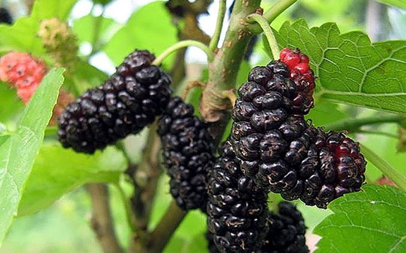 grow and harvest mulberry