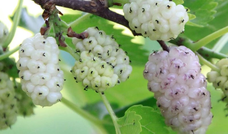 White Mulberry Look How to Grow