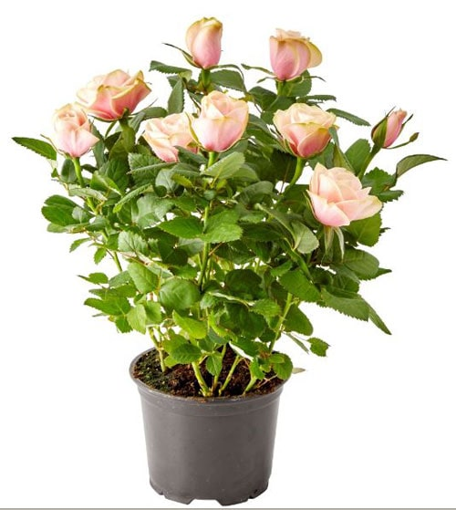 Improve Soil on Kordana roses