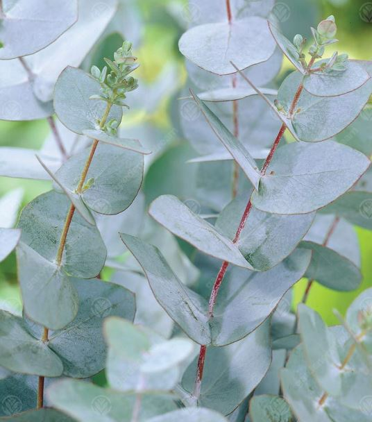 how to grow Eucalyptus gunnii plant