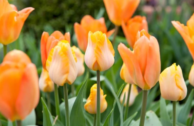 Tulipa 'Bestseller', Best Orange Tulips to Grow