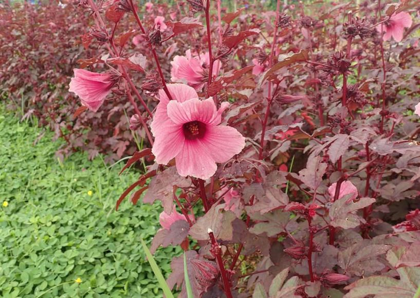 Info for Growing Cranberry Hibiscus Plants
