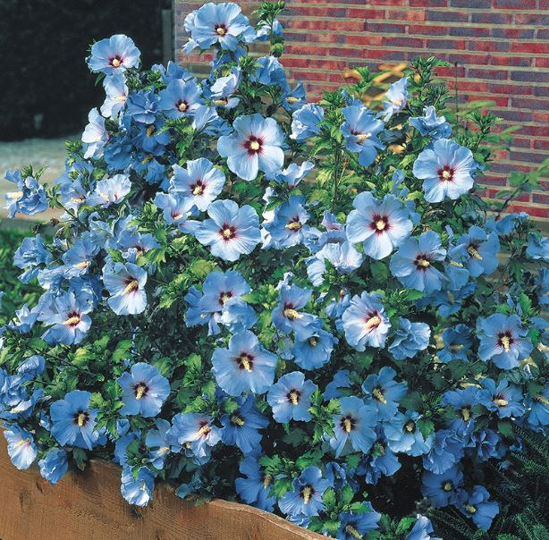 bluebird hibiscus plant and flower