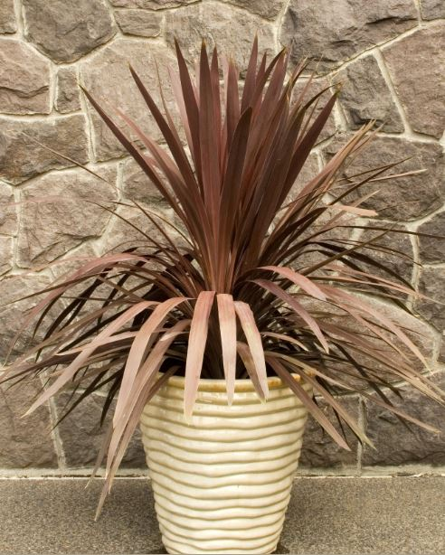 Plant Grow Red Star Dracaena indoors