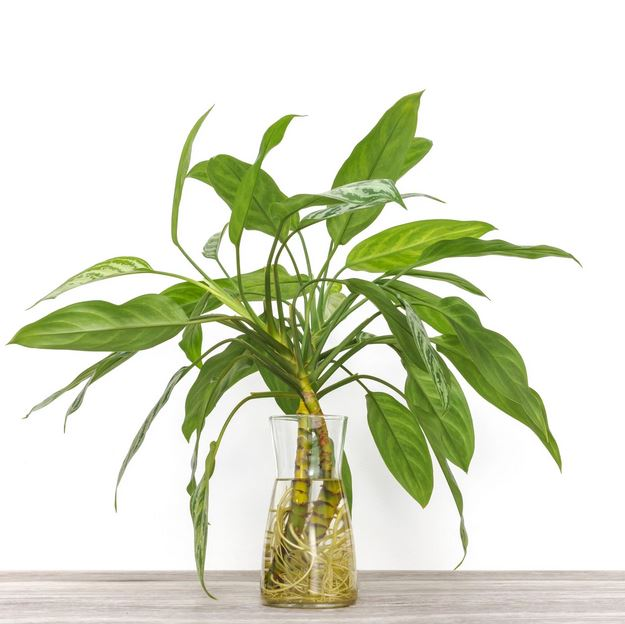 Chinese Evergreen frow in water