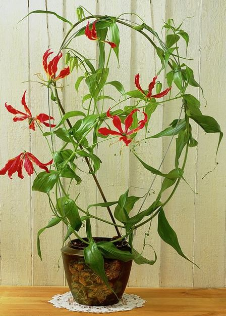 Flame Lily rare flower in india