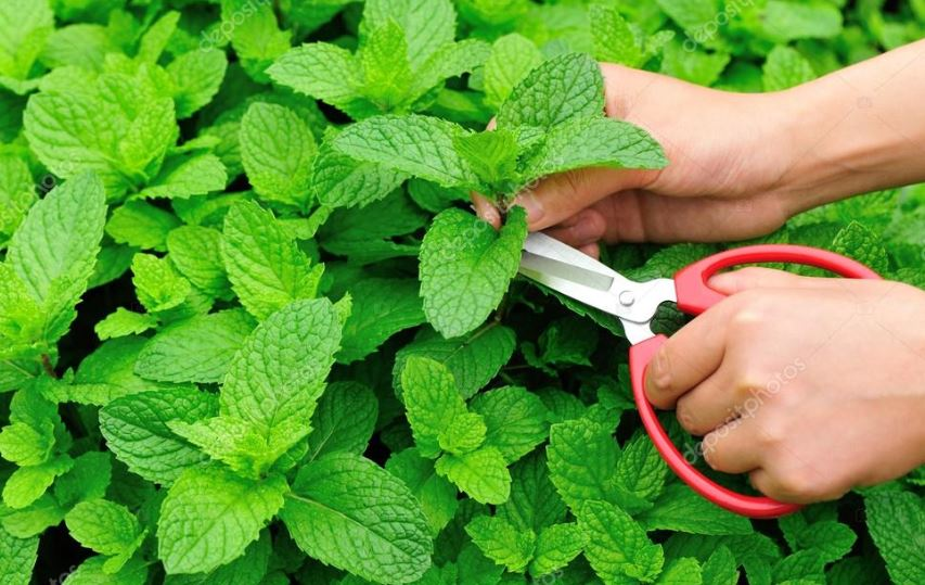 How to Harvest Peppermint