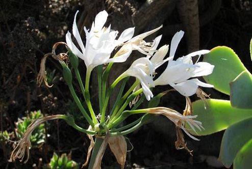 Long Flowered Spider Lily
