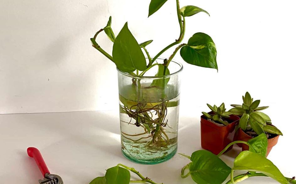 Philodendron frow in water