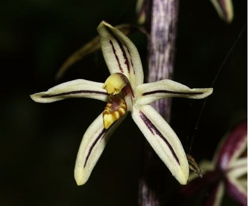Yellow Ghost Orchid rare plant in india